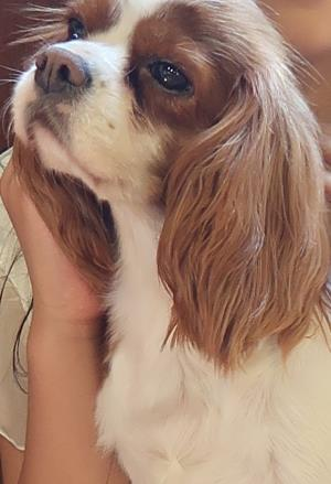 Image result for Cavalier  犬  バイトシューズ